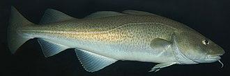 Gadiformes - Gadus morhua