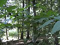 Atropa Plant.JPG