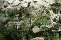 Atropa belladonna PID944-3.jpg