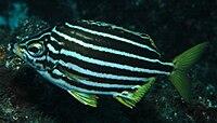 Atypichthys latus (Mado)