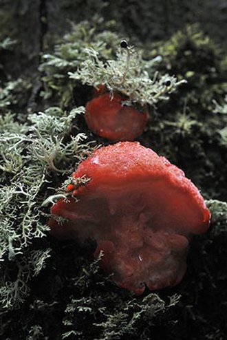 Cradle Mountain - Tyromyces pulcherrimus, strawberry bracket fungus