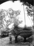 Australian grass trees (2414463667).jpg