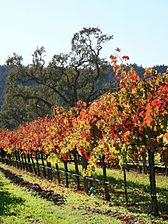 Autumn vineyard in Napa Valley.jpg