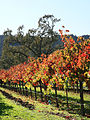 Autumn vineyard in Napa Valley.jpg