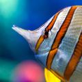 Avatar rainbowfish.png