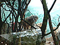 Babboon at STL zoo.JPG