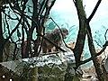 Babboon at STL zoo.JPG