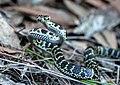 Baby Carpet Python.jpg