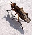 Backies field296 Diptera (2645402125).jpg