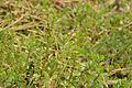 Bacopa monnieri - Agri-Horticultural Society of India - Alipore - Kolkata 2013-01-05 2268.JPG