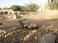 Bactrian camel - ബാക്ട്രിയൻ ഒട്ടകം 02.JPG