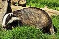 Badger - British Wildlife Centre (17069051250).jpg