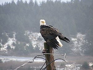 Bald Eagle on post in Kodiak, Alaska, USA