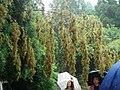 BambooFlowering.jpg