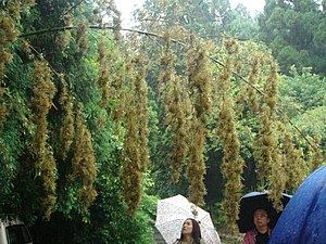 Mautam - Photograph of flowering bamboo