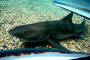 Description de l'image Banded houndshark osaka.jpg.
