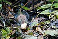 Bank Vole - Lackford Lakes (37624274624).jpg