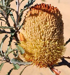 Banksia audax bloom sunny email.jpg