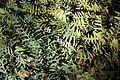 Banksia blechnifolia - Leaning Pine Arboretum - DSC05468.JPG