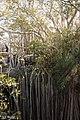 Banyan fig at sinkhole.jpg