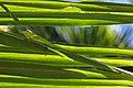 Baracoa Giant Anole (Anolis baracoae) (8596820411).jpg