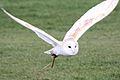 Barn Owl - Woburn Safari Park (4552170456).jpg