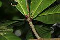 Barringtonia racemosa03.jpg