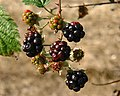Barton Stacey - The Fruits of Autumn (1) - geograph.org.uk - 582039.jpg