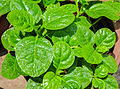 Basella alba leaves 26052014 01.jpg