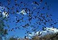 Bats may transfer Rabies Virus.jpg