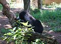 Bear in Dehiwala zoo.JPG