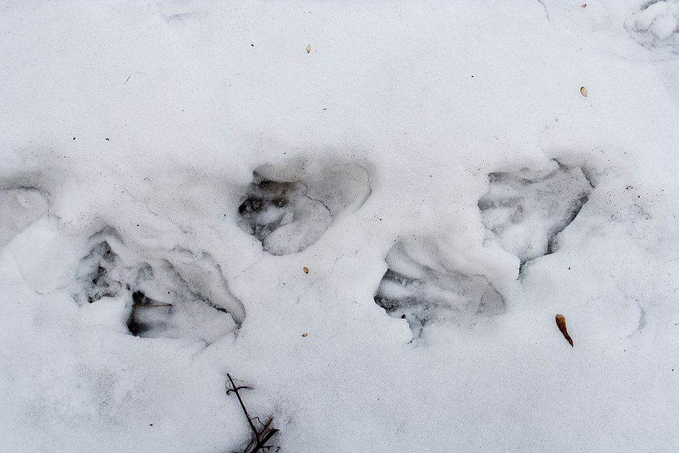 Beaver Castor fiber tracks in snow
