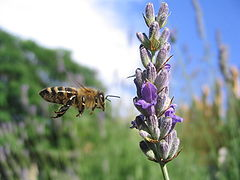 Bee flying next to lavander.jpg