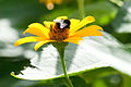 Bee on yellow flower (8366968770).jpg