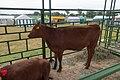 Belarusian red cow.jpg