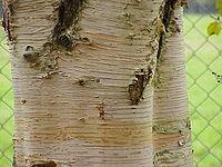 Betula papyrifera1.jpg