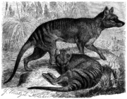 An artist's depiction of two Thylacines from 1883.