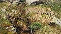 Bieltal-Cirsium spinosissimum.jpg