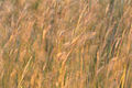 Big Bluestem Waving in the Wind (12758362934).jpg