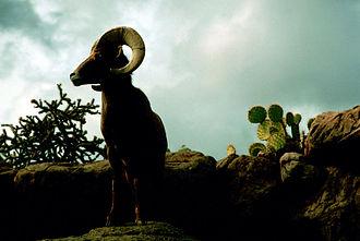 Kofa National Wildlife Refuge - Bighorn sheep in the Kofa National Wildlife Refuge