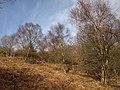 Birches, Little Haldon - geograph.org.uk - 1166799.jpg