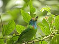 Bird Blue throated barbet 05.jpg