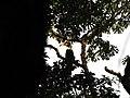 Bird Great Hornbill Buceros bicornis IMG 8659 07.jpg