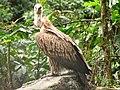 Bird Himalayan Griffon IMG 0438 06.jpg