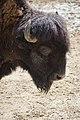 Bison bison - 02.jpg