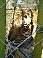 Bitola Zoo Tiger 2.JPG