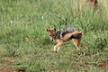 Black-backed jackal, Canis mesomelas, a young one playing with a root as a puppy plays with a ball at Rietvlei Nature Reserve, Gauteng, South Africa (16036835382).jpg