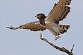 Black-chested snake eagle (Circaetus pectoralis) at Pilanesberg National Park, South Africa. (29993450127).jpg