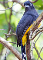 Black-headed trogon treehouse.jpg