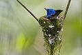 Black-naped Monarch (Hypothymis azurea).jpg